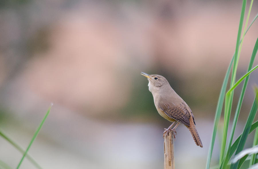 Southern House Wren Photograph - Morning Singing by Joab Souza