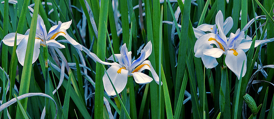 Lily Photograph - Morning Smile - Wild African Iris by Donna Proctor