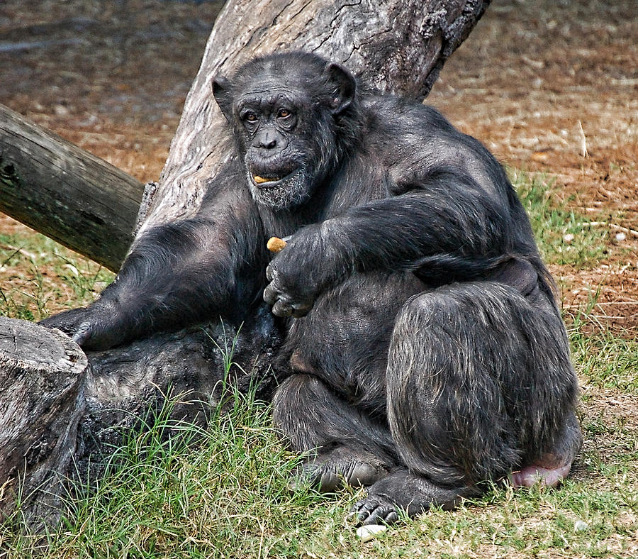 Chimpanzee Photograph - Morning Snack by Donna Proctor