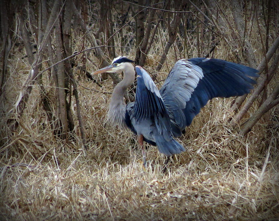 Great Blue Heron Photograph - Morning Stretch by Marcus Moller