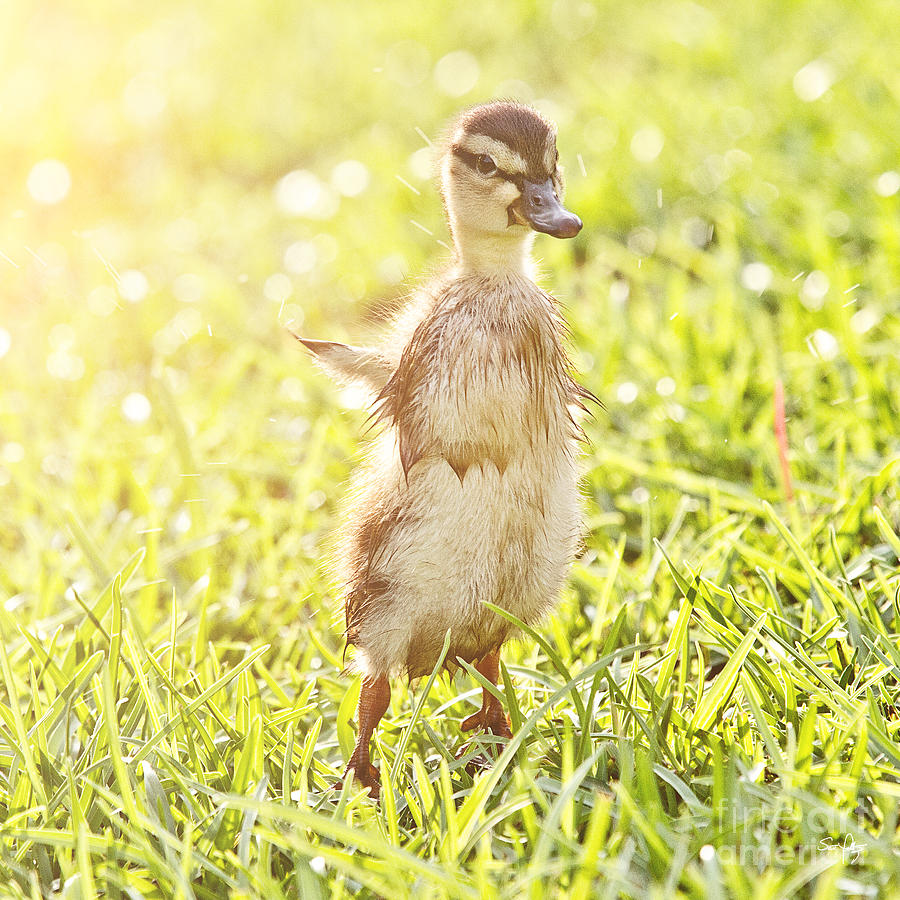 Duckling Photograph - Morning Stretch by Scott Pellegrin