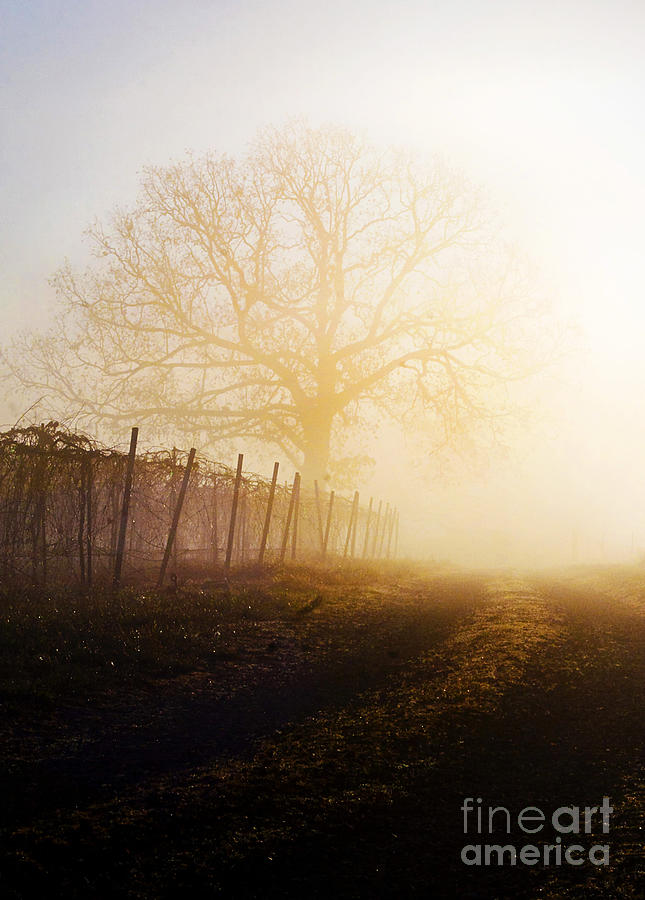 Fog Photograph - Morning Vineyard by Shannon Beck-Coatney