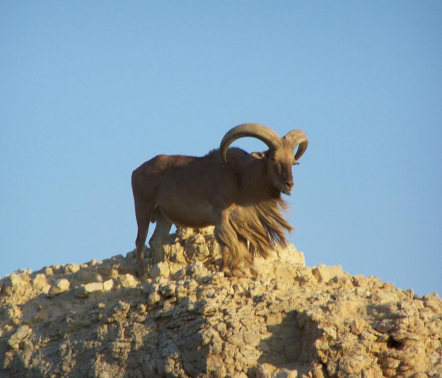 Sheep Photograph - Moroccan Barbary Sheep by Noreen HaCohen