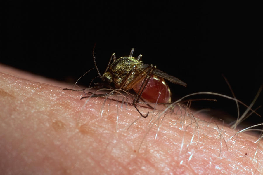 Cartoon mosquito sucking blood high