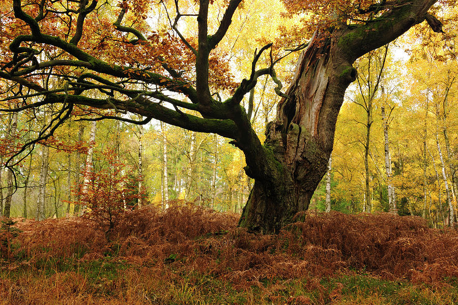 Moss Covered Ancient Hollow Oak Tree In Photograph by Avtg