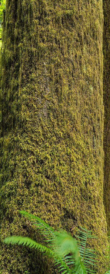 Moss Photograph - Moss Covered Tree Olympic National Park by Steve Gadomski