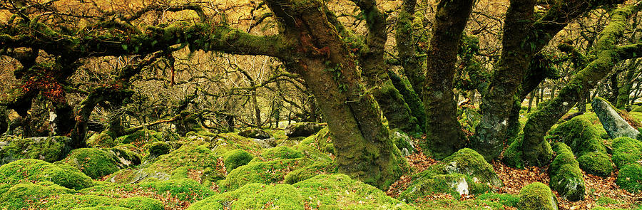 Horizontal Photograph - Moss Covered Trees In A Forest by Panoramic Images