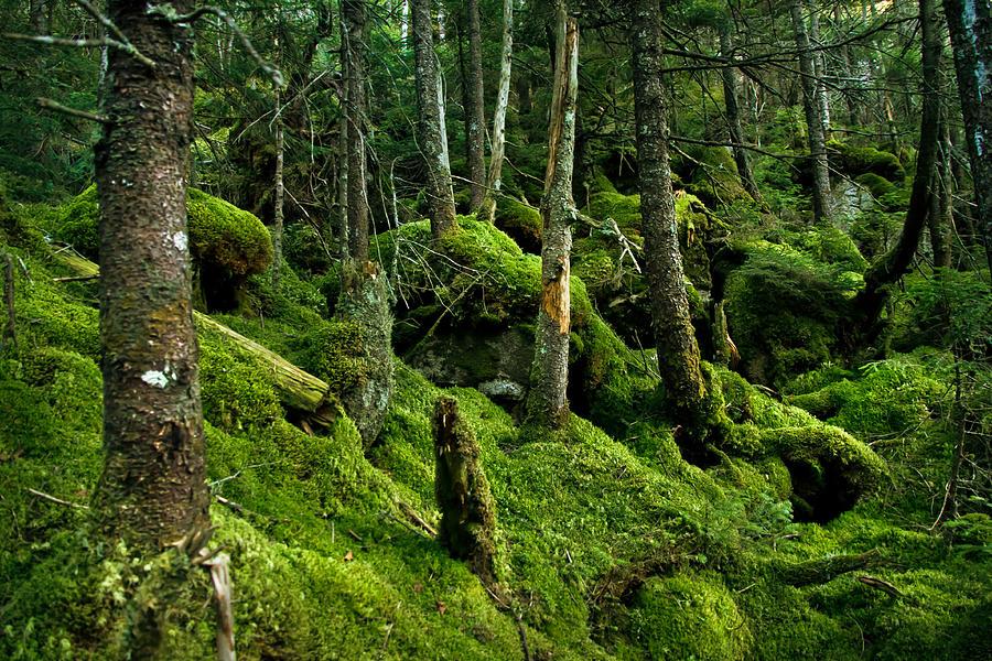 Moss Forest Photograph by Robert Clifford
