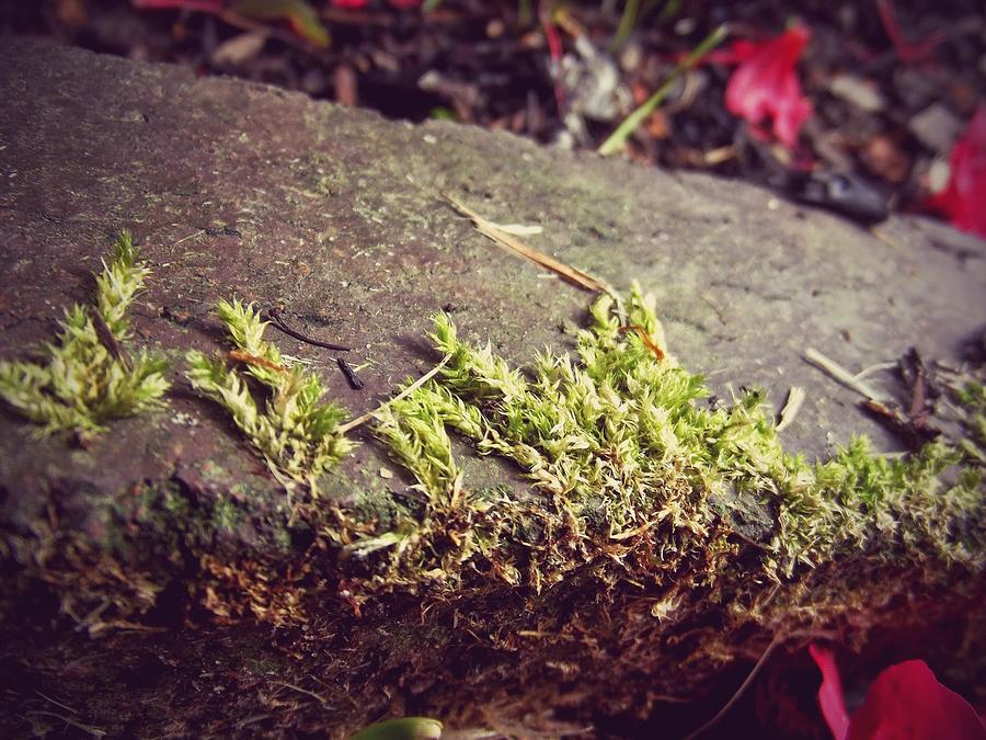Moss Photograph - Moss by Laura Mazzuca