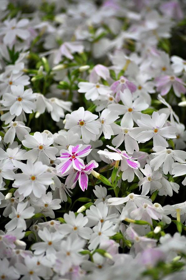 Garden Photograph - Moss Phlox by Larry Jones
