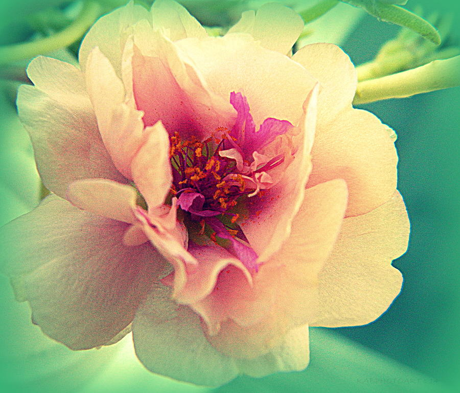 Moss Rose Photograph - Moss Rose Abstract by Kathy Barney