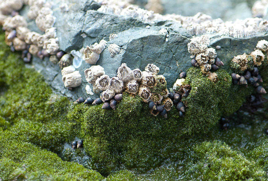 Animal Photograph - Mossy Barnacles by Sarah Crites