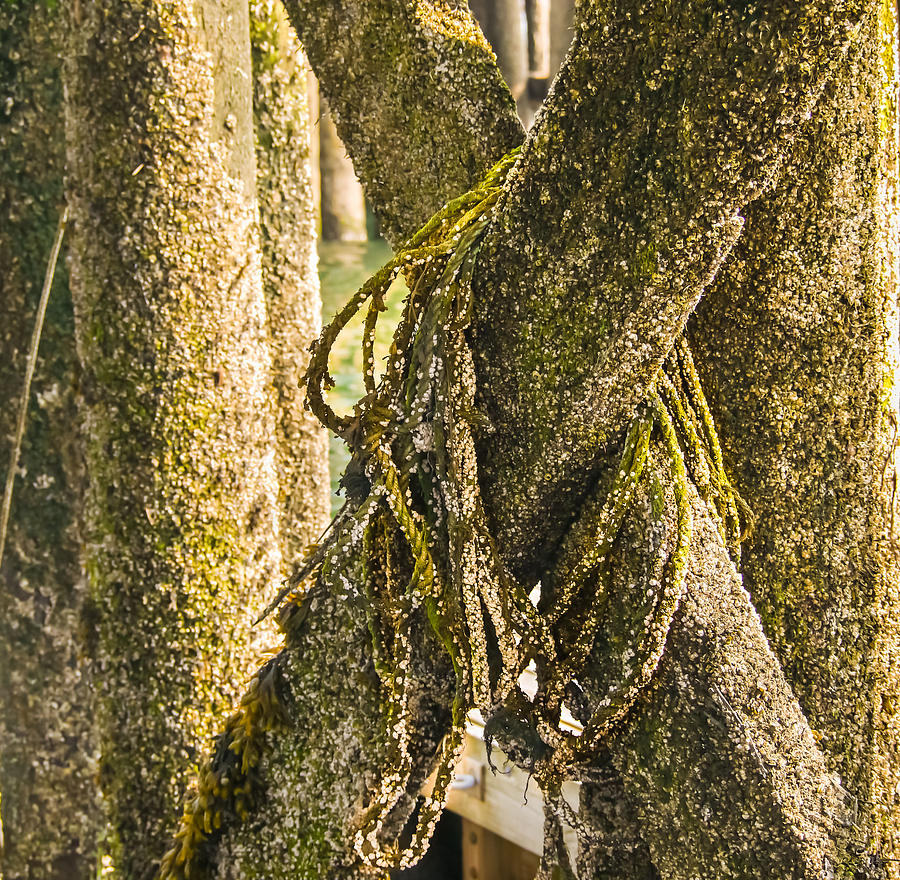 Barnacles Photograph - Mossy Pier by Ernest Puglisi
