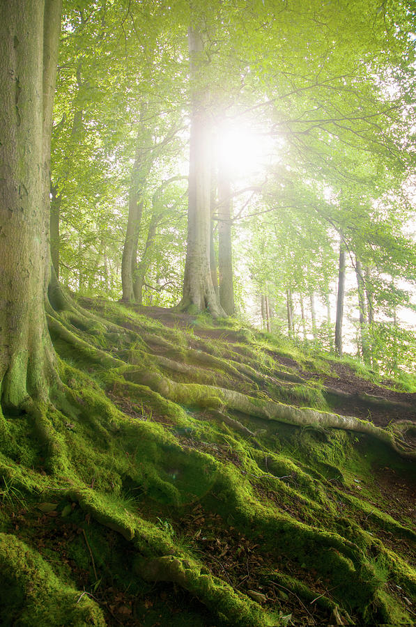 Mossy Tree Roots On Forest Hillside Photograph by Matt Walford