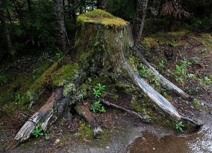 Tree Stump Photograph - Mossy Tree Stump by Amanda Holmes Tzafrir