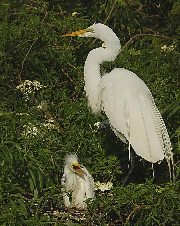 Birds Photograph - Mother And Baby Egret by Wynn Davis-Shanks