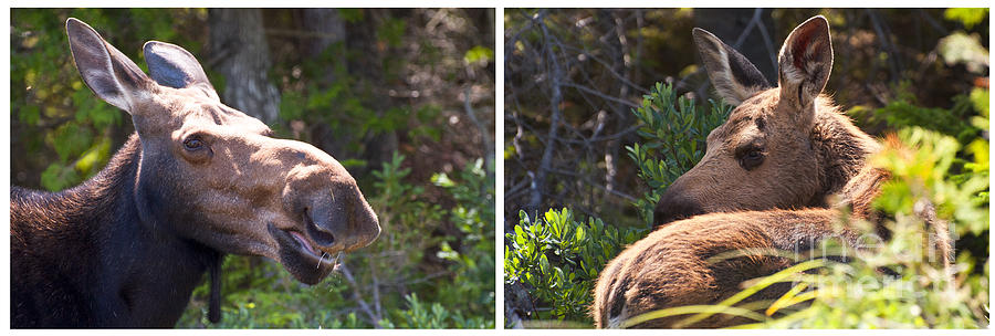 Mother And Baby Moose Photograph