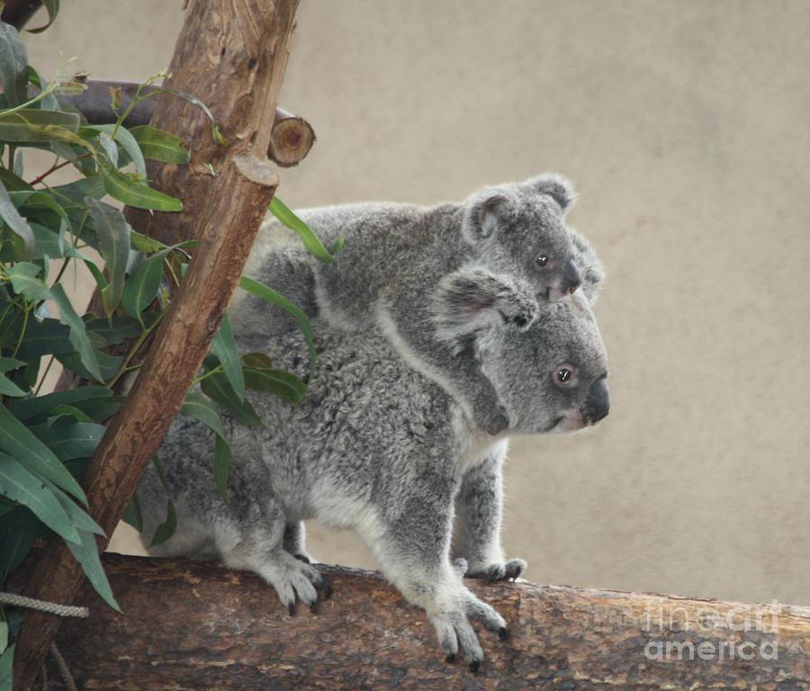 Telfer Photograph - Mother And Child Koalas by John Telfer