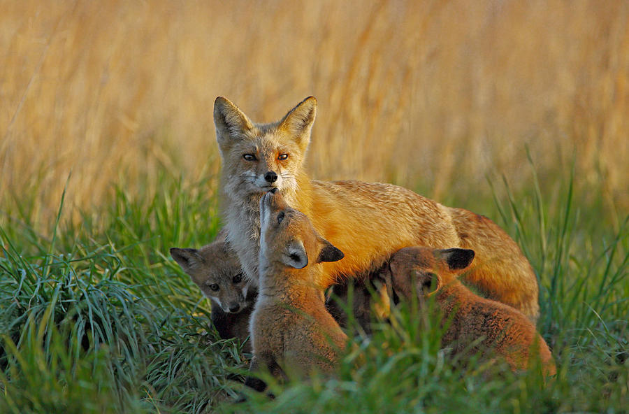 Fox Photograph - Mother Fox And Kits by William Jobes