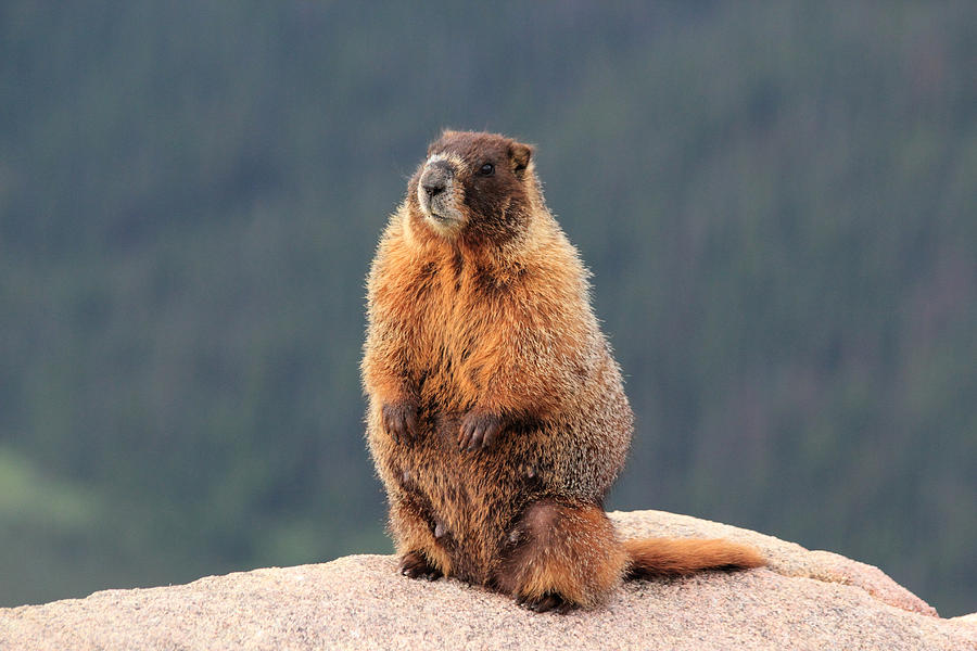 Mother Marmot Photograph by Shane Bechler