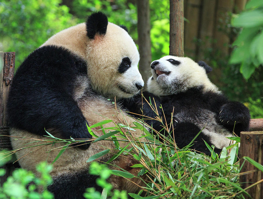 Mother Panda And Her Cub Photograph by Feng Wei Photography