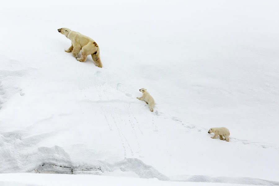Mother Polar Bear And Cubs In Svalbard Photograph by Mikeuk