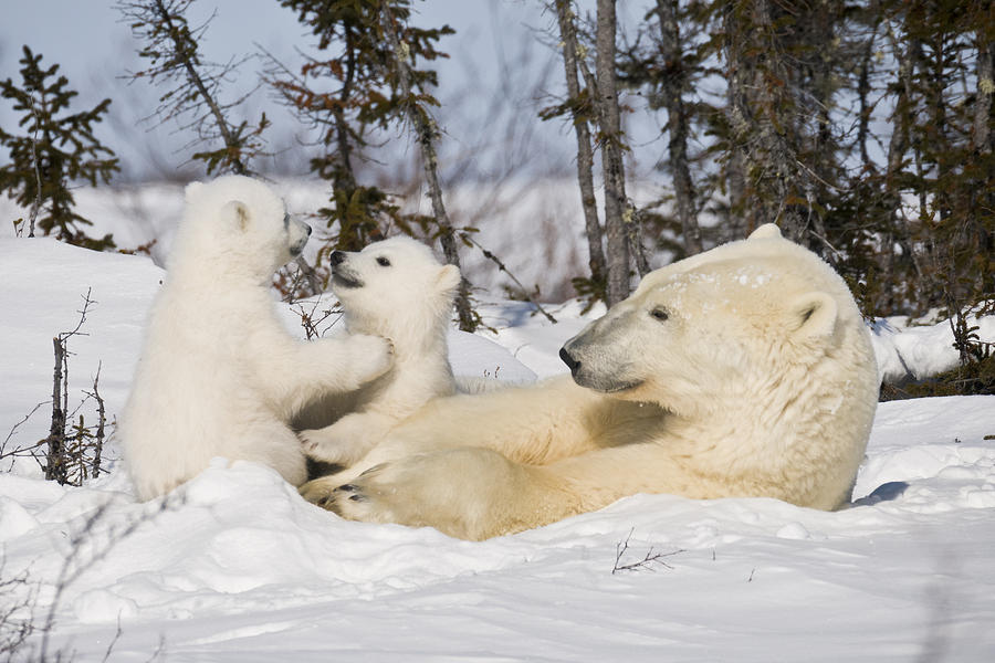 watch polar bear international watches youtube hour poljot