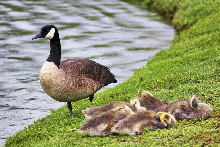 Goose Photograph - Mother With Goslings by Jason Politte