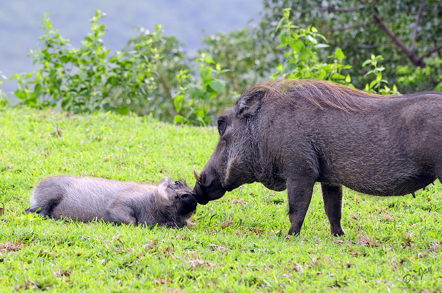 Warthog Photograph - Mothers Affection by Jay Walshon MD