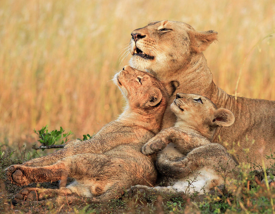 Lion Photograph - Mothers Love by Jaco Marx