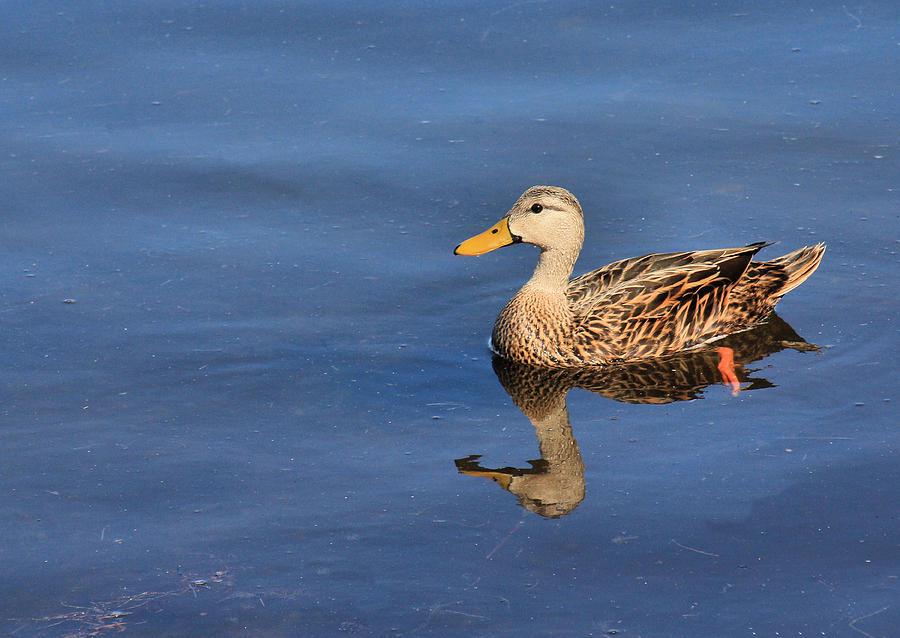 Duck Photograph - Mottled Duck Reflected by Rosalie Scanlon