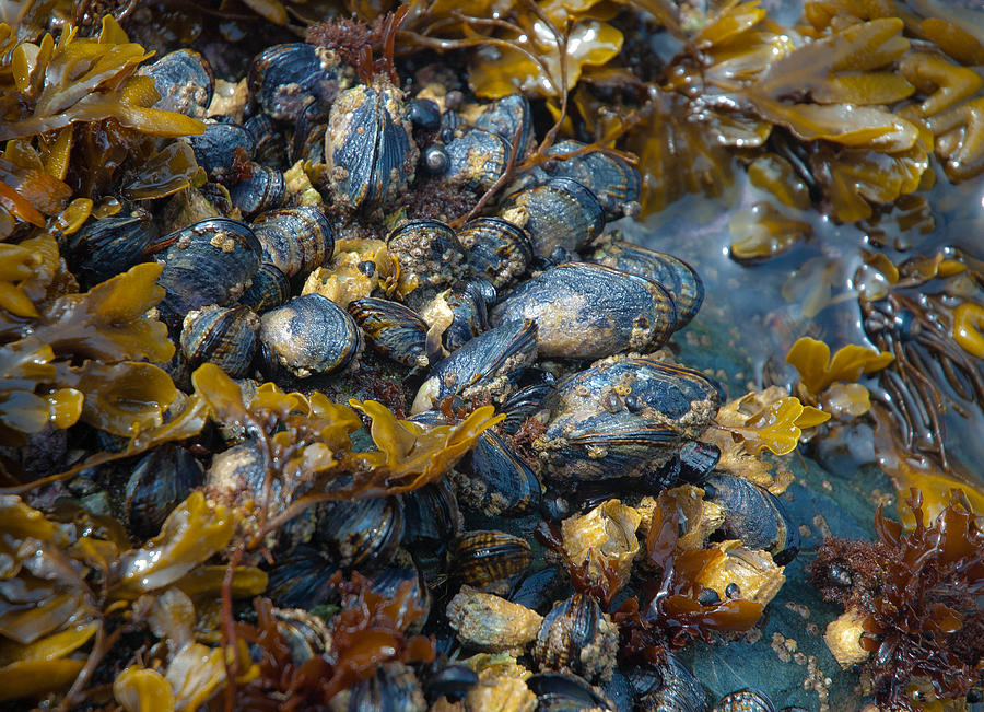 Kelp Photograph - Mound Of Mussels by Sarah Crites