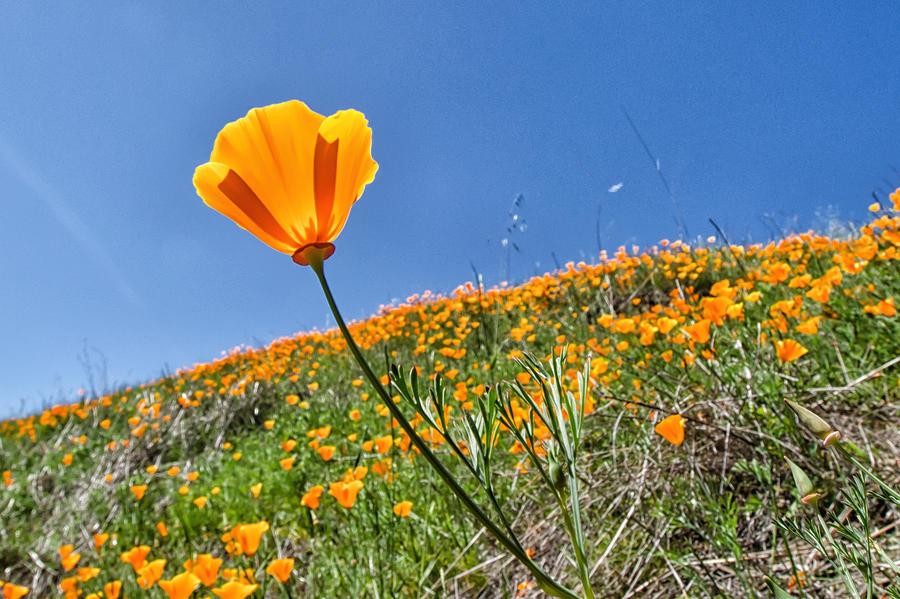 Mount Diablo Photograph - Mount Diablo Poppy Field by Robert Rus
