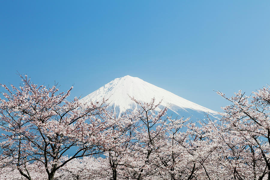 Mount Fuji & Cherry Blossom Photograph by Ooyoo