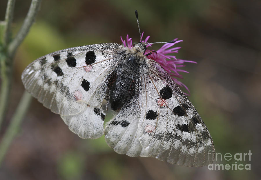 Mountain Apollo Photograph - Mountain Apollo Parnassius Apollo by Amos Dor