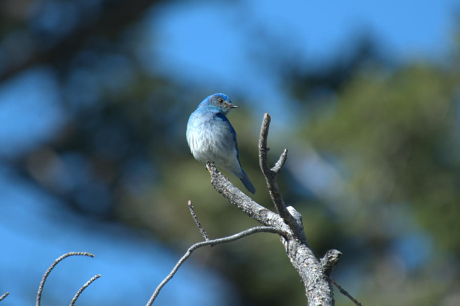 Bluebird Photograph - Mountain Bluebird by Frank Madia