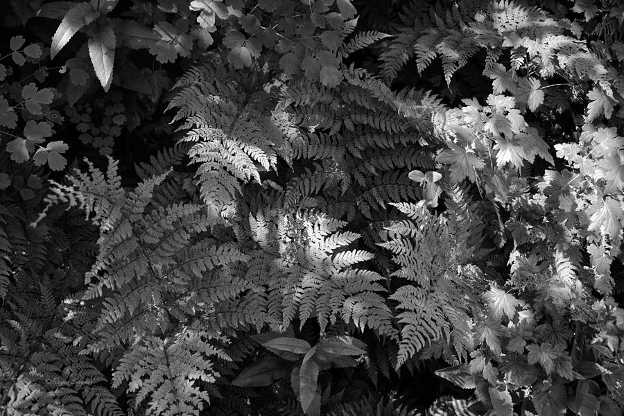 Beautiful Photos Photograph - Mountain Ferns 1 by Roger Snyder