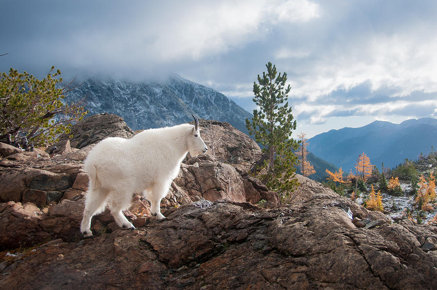 Cascades Photograph - Mountain Goat by Brian Bonham