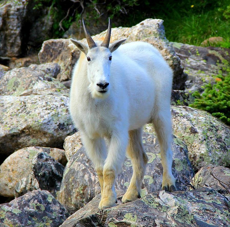Colorado Photograph - Mountain Goat by Danielle Marie