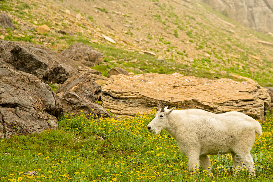 Glacier National Park Photograph - Mountain Goat In The Mountains by Natural Focal Point Photography