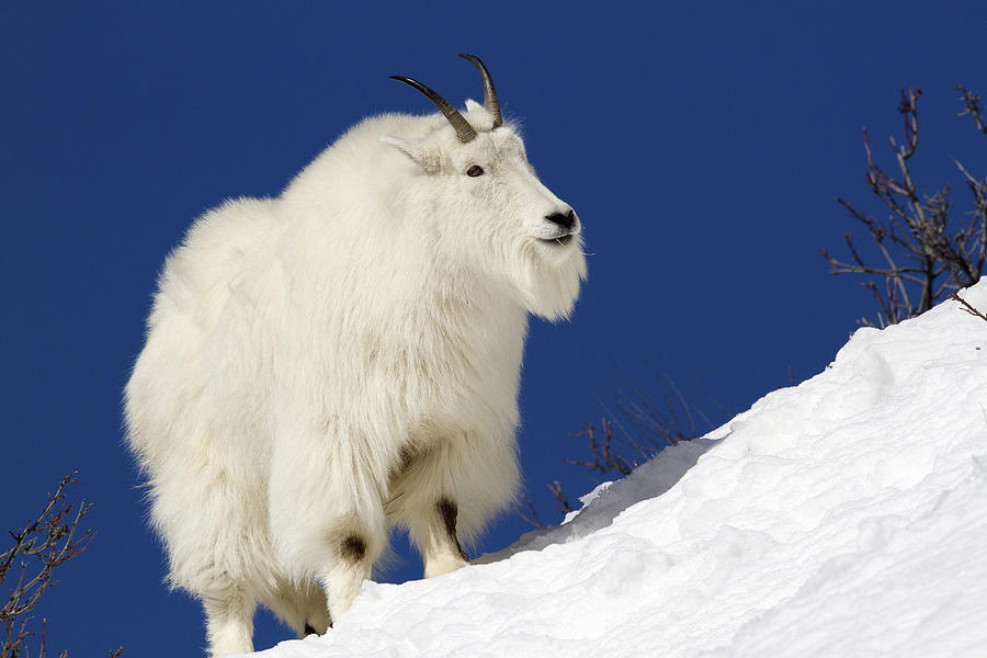 Mountain Goat On Blue Photograph By AM Ruttle