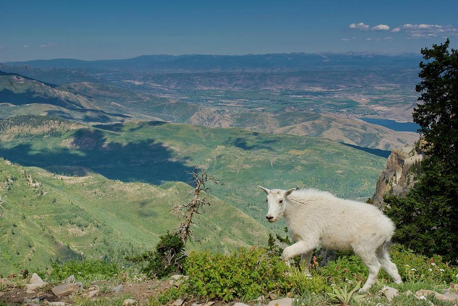 Alpine Photograph - Mountain Goat, Oreamnos Americanus by Howie Garber