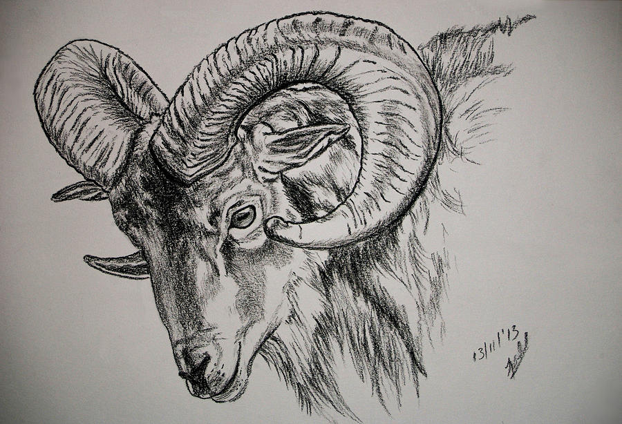 Mountain Goat Ram Drawing By Tracey Beer