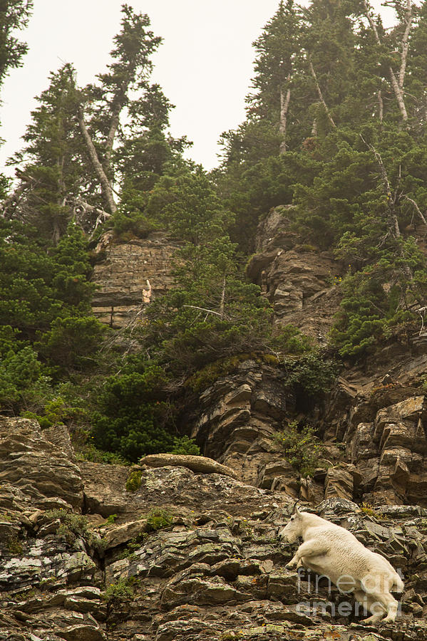 Mountain Goat Photograph - Mountain Goats In Glacier 2 by Natural Focal Point Photography