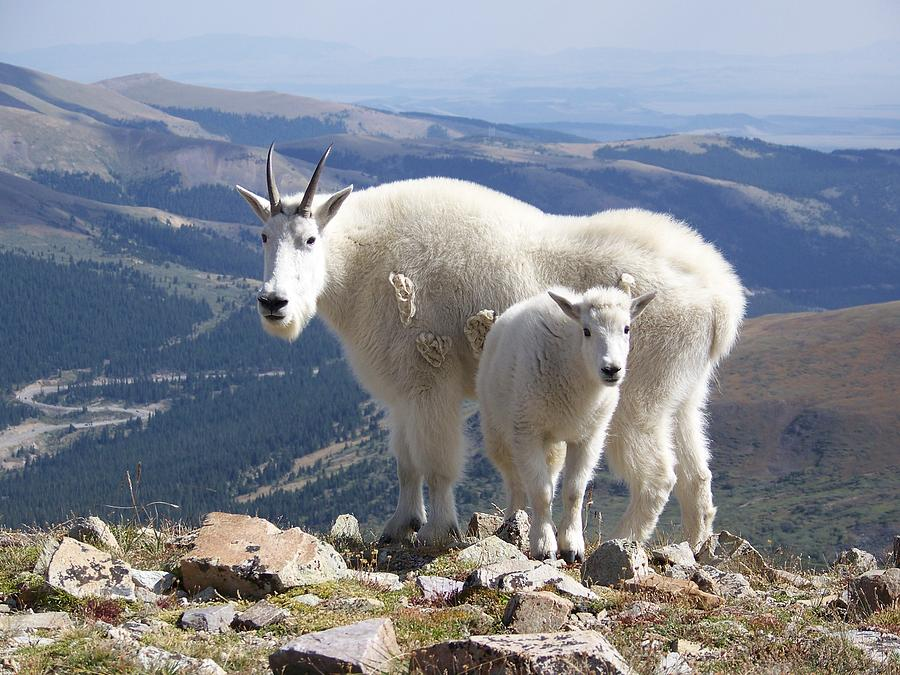 Mountain Photograph - Mountain Goats - Quandary Peak by Aaron Spong
