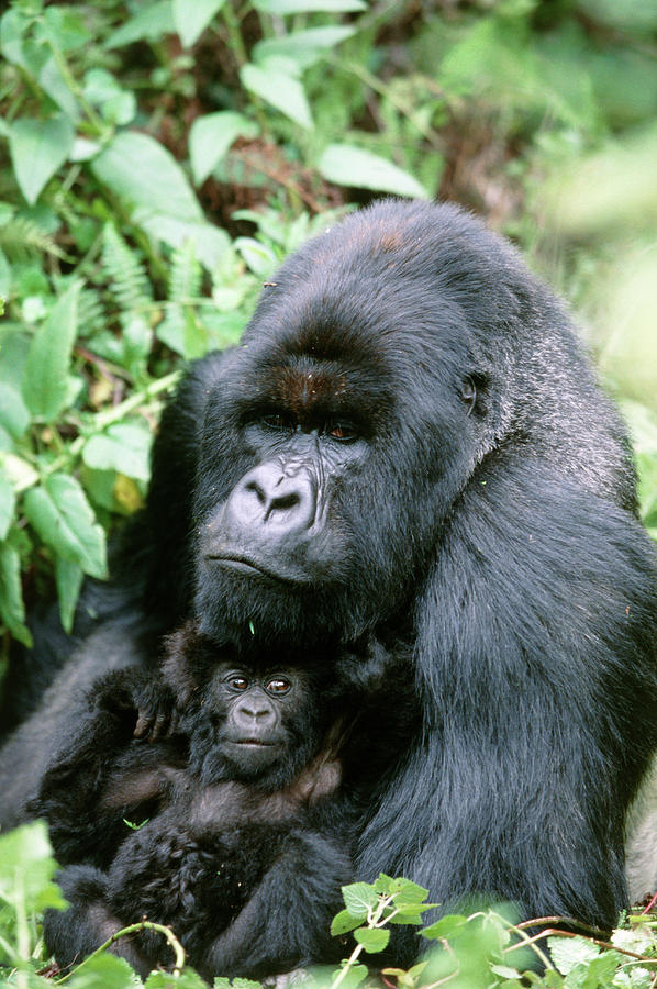 Gorilla Gorilla Beringei Photograph - Mountain Gorilla And Infant by Tony Camacho/science Photo Library