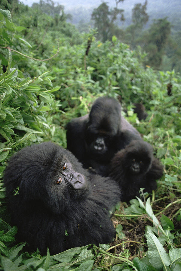 Mountain Gorilla Family in Forest Photograph by Gerry Ellis