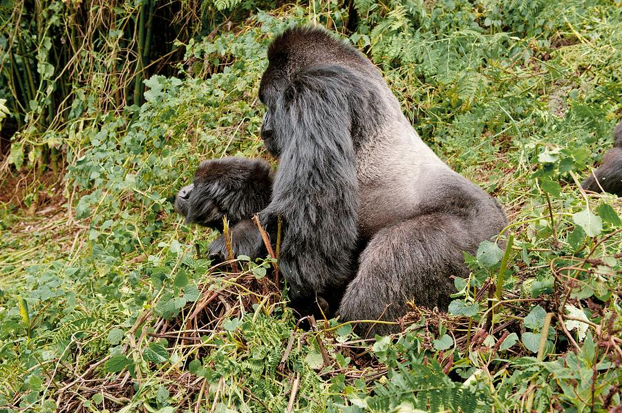 Mountain Gorillas Mating Photograph by Science Photo Library