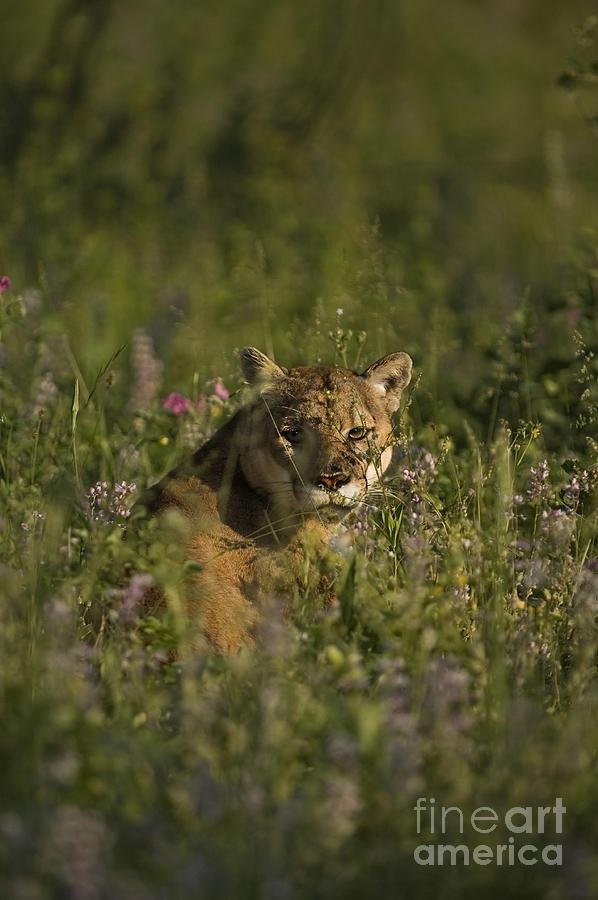 Mountain Lion-animals-5 Photograph