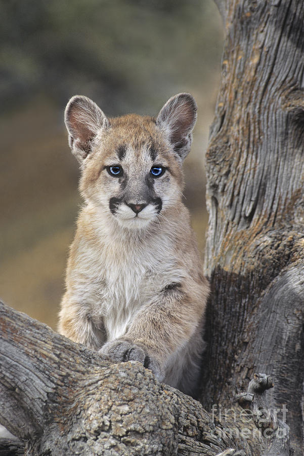 Mountain Lion Cub Photograph By Dave Welling